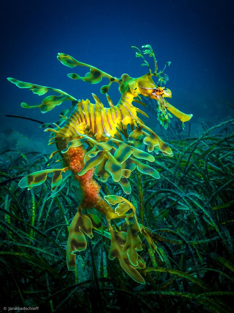Fotokonst Leafy Sea Dragon - male with eggs