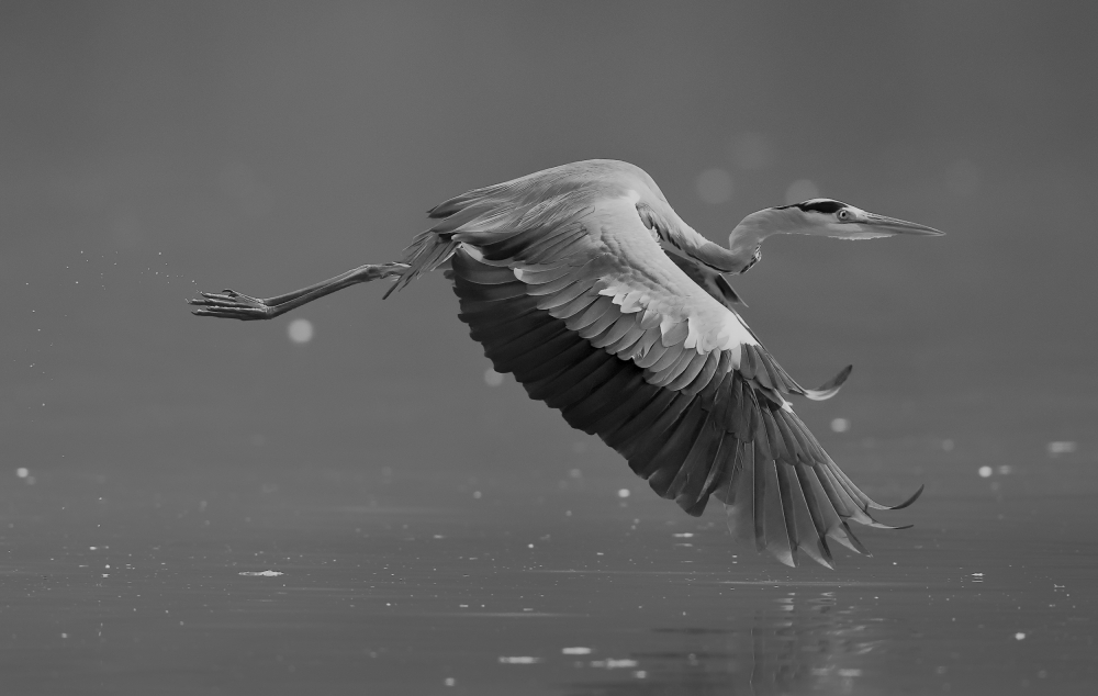 Poster Grey heron
