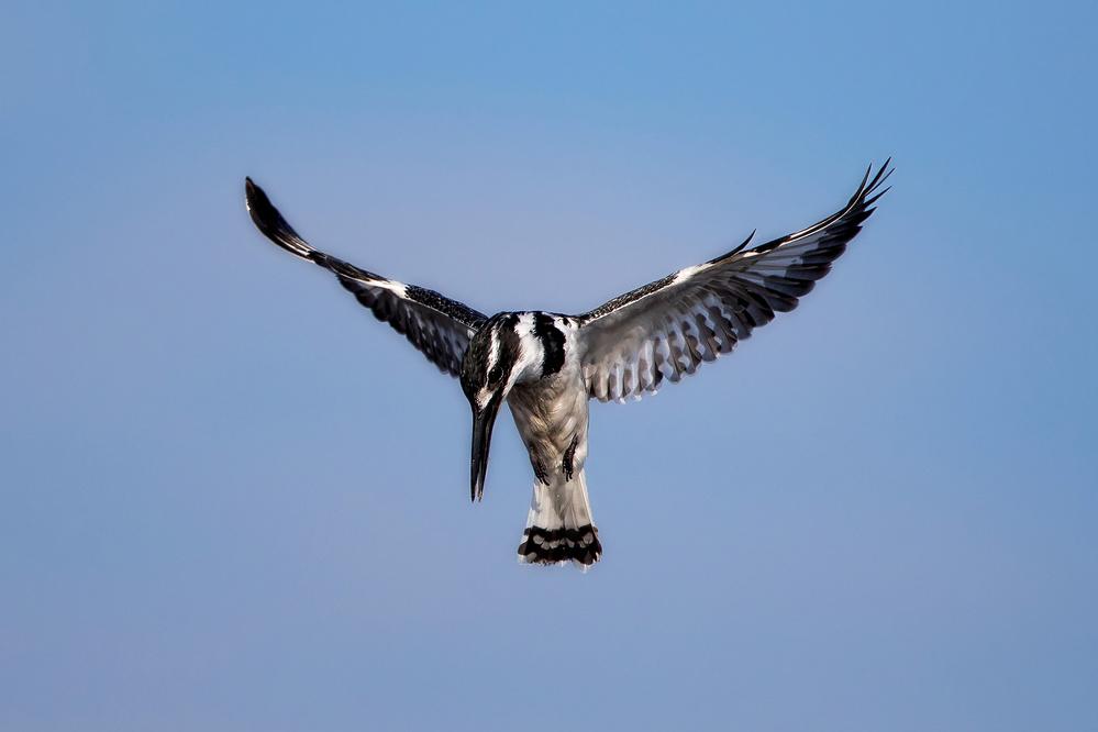 Fotokonst Pied Kingfisher