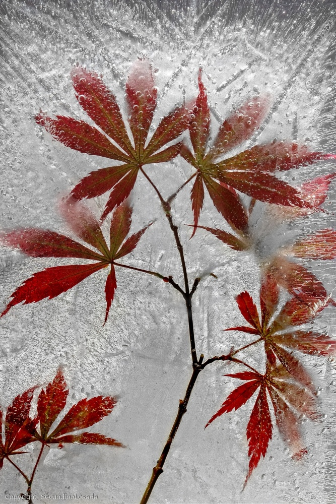 Poster red maple