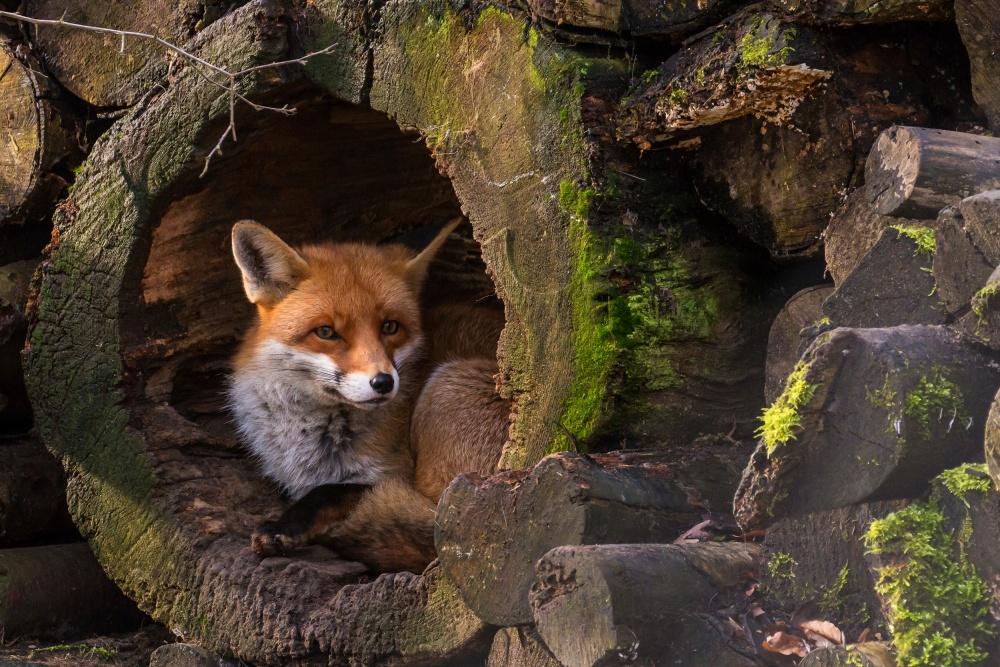 Fotokonst Fox