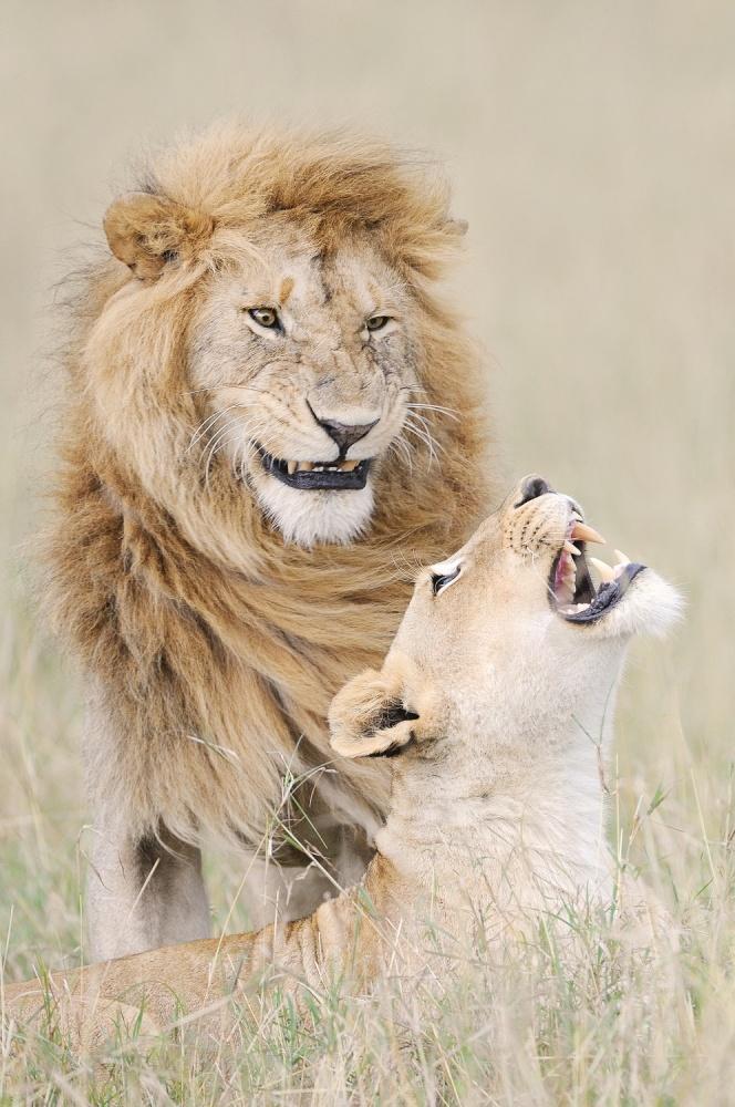 Lion lover