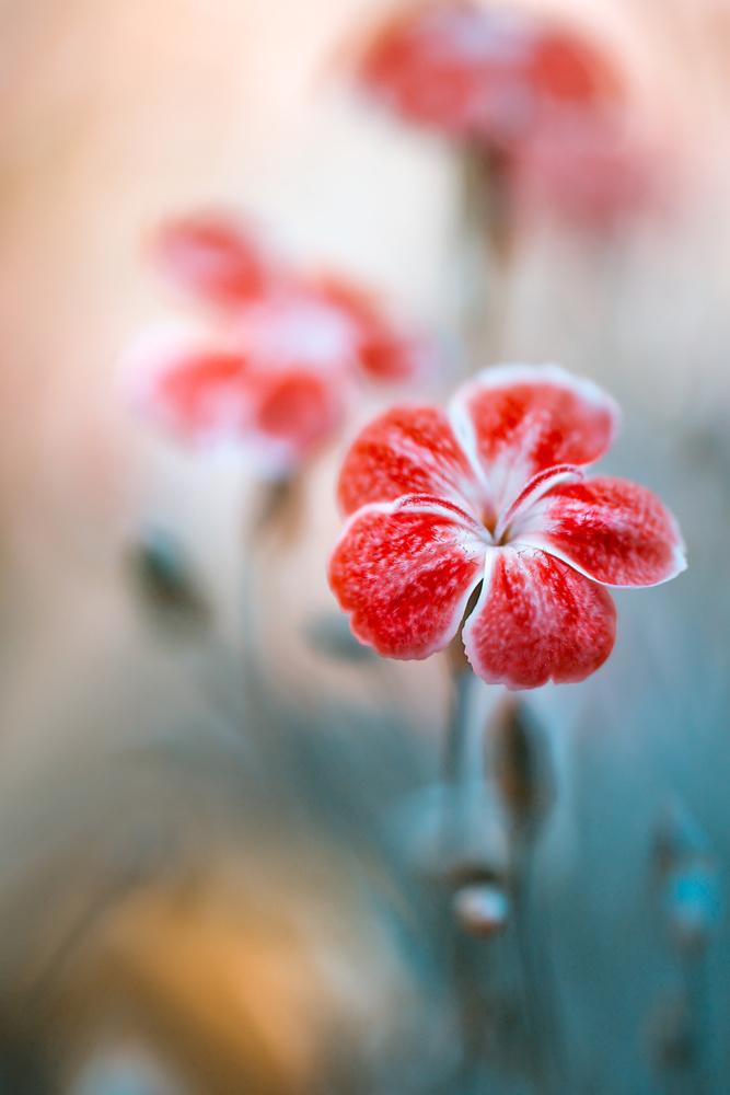 Fotokonst Dianthus