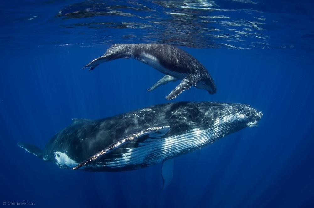 Fotokonst Humpback Whales, Reunion Island