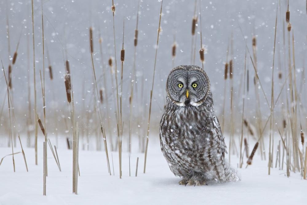 Fotokonst Great Grey Owl in Cat-Tails