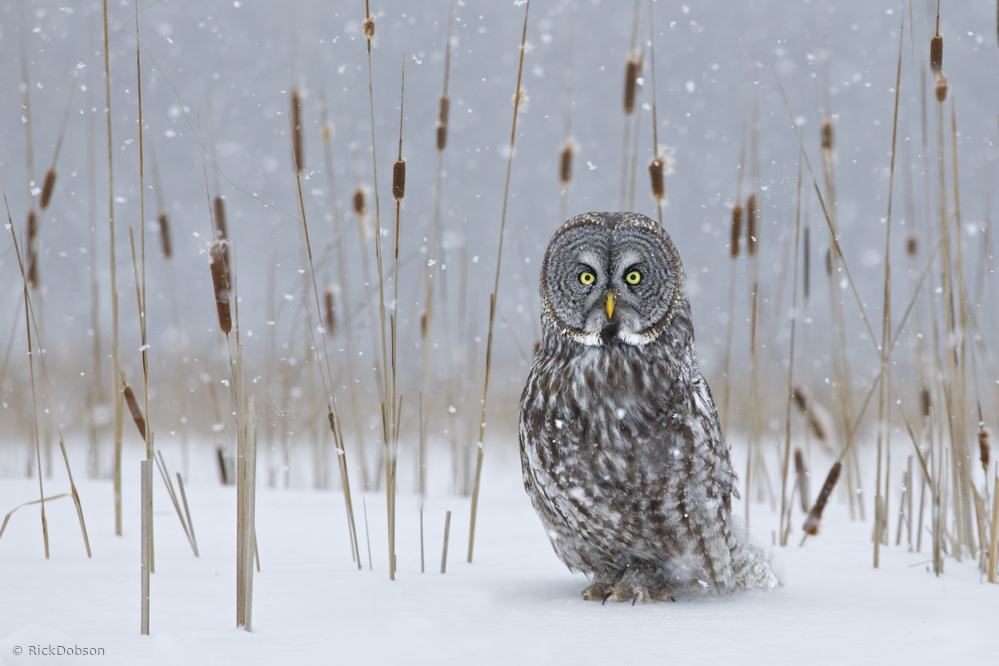 Poster Great Grey Owl in Cat-Tails
