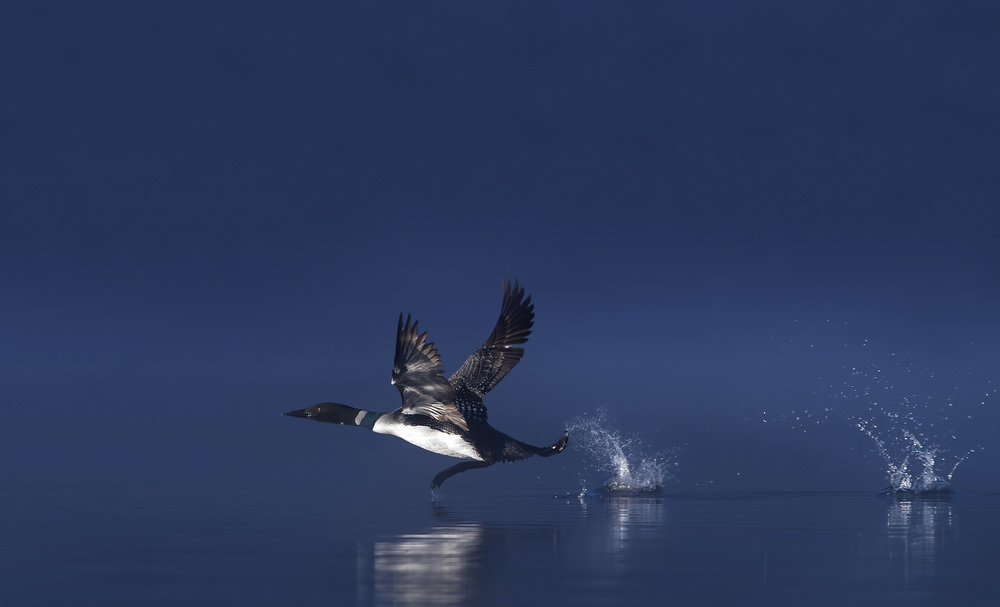 Poster Loon Flight - Common Loon