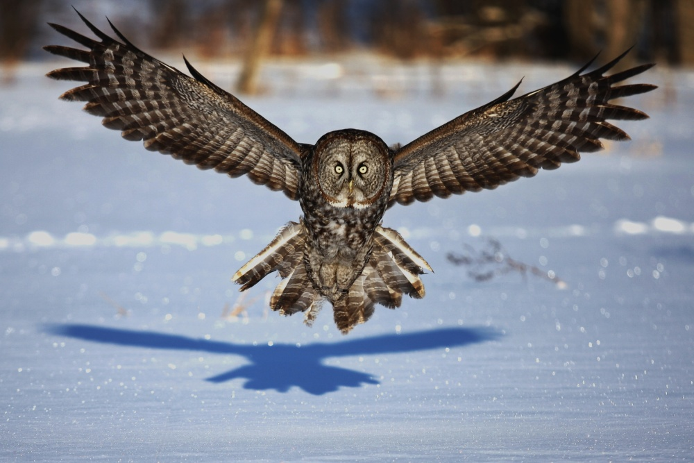 Fotokonst In your face - Great Grey Owl
