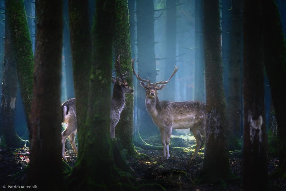 Fotokonst Deers
