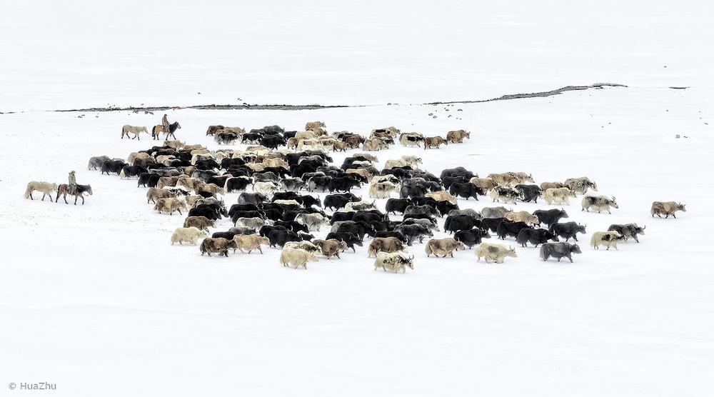 Fotokonst Yaks in snow