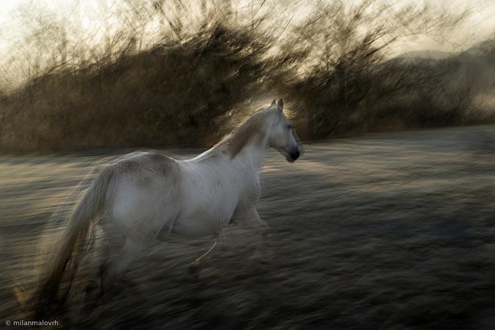Fotokonst Lipizzan foal