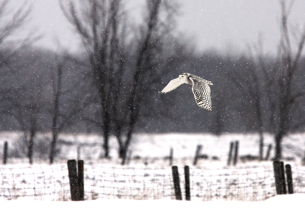 Poster A snowy Snowy Owl