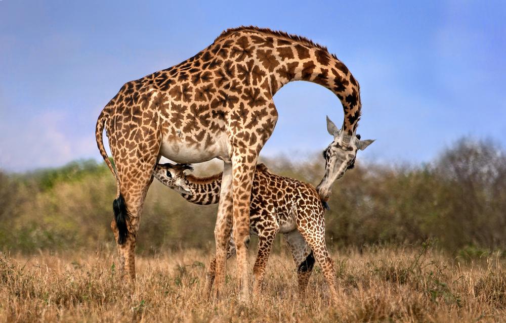 Fotokonst Giraffe with cup