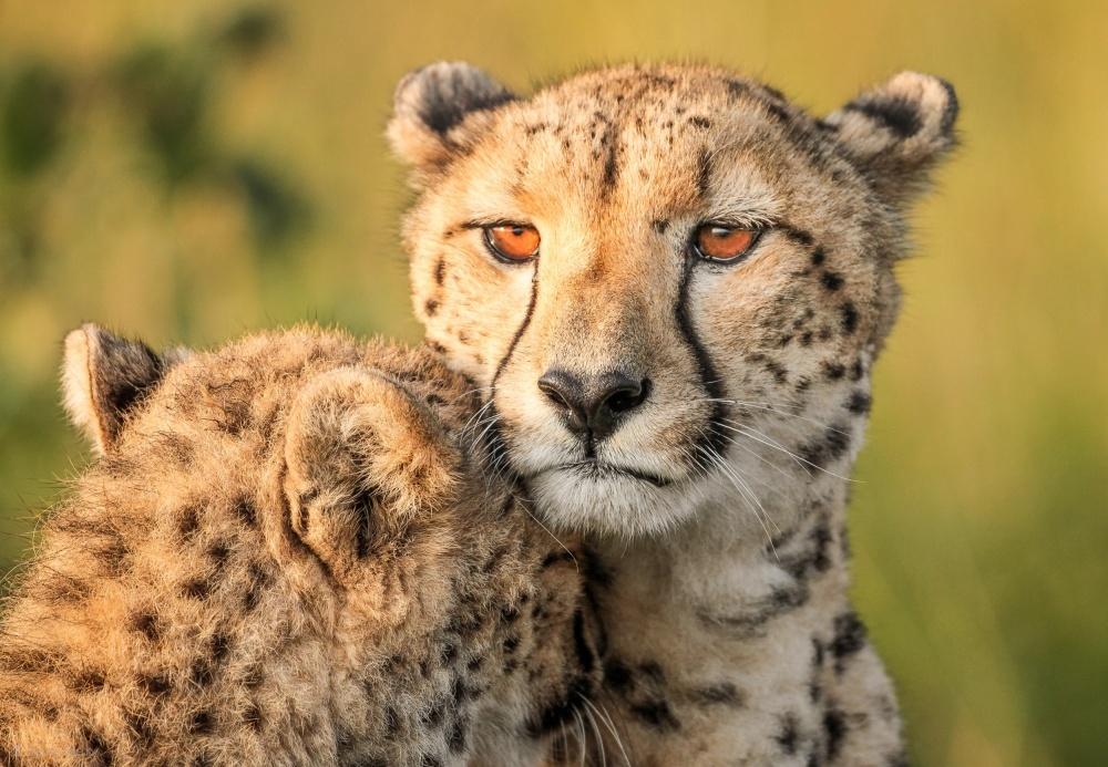 Fotokonst Cheetah eyes