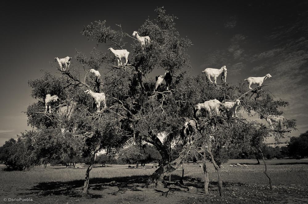 Fotokonst Argan loving goats