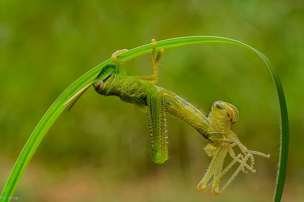 Fotokonst Locust molting