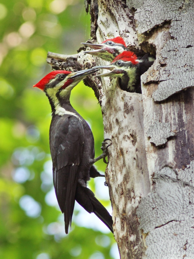 Poster Pileated Woodpecker