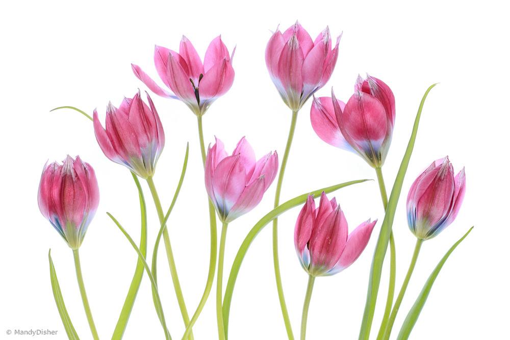 Fotokonst Tulip blush