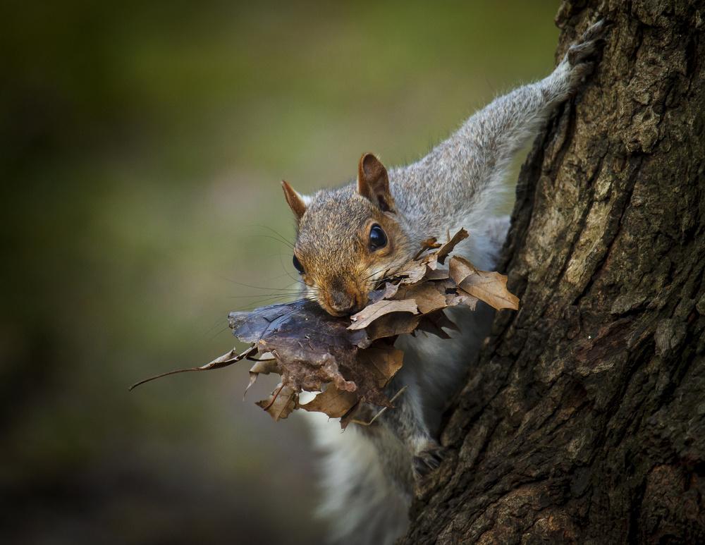 Fotokonst Nest Building Squirrel