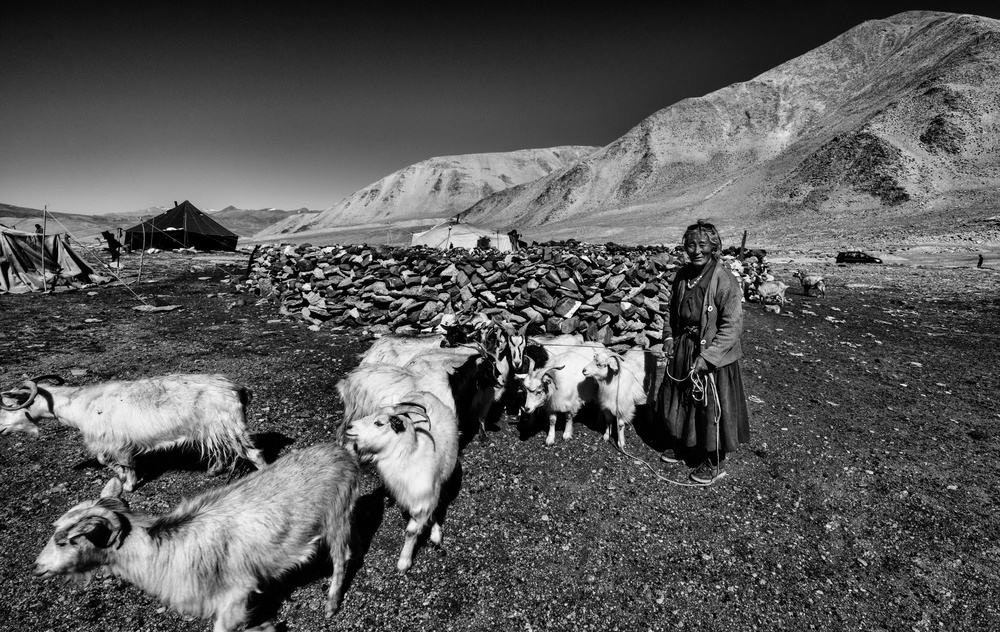 Poster After milking goats (Ladakh-India)