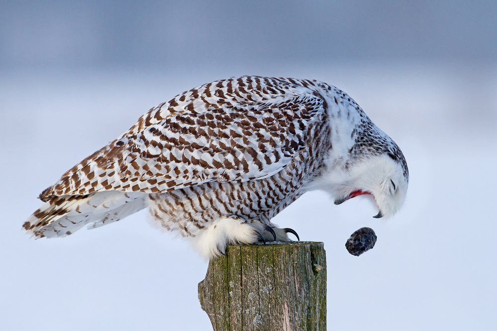 Poster Cough it up buddy - Snowy Owl
