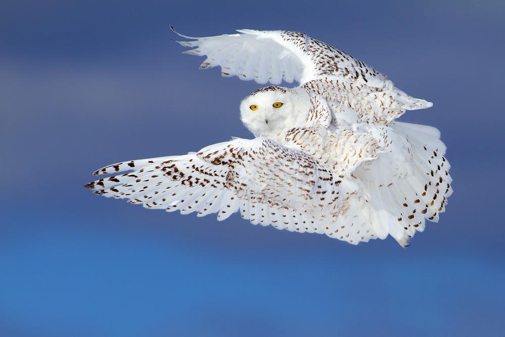 Flight of the Snowy - Snowy Owl