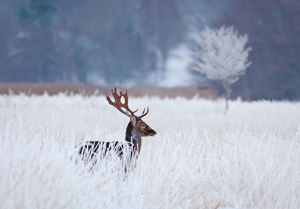 Fotokonst Fallow deer in the frozen winter landscape