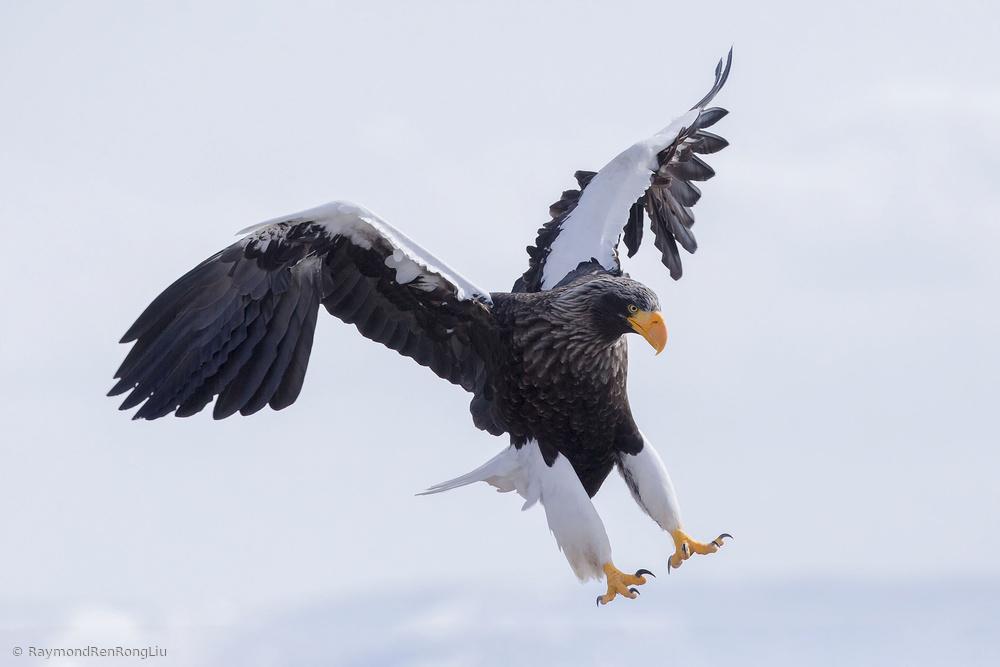 Fotokonst Stellers Sea Eagle