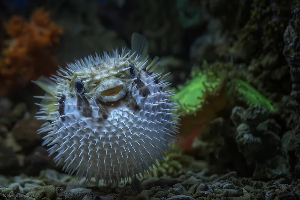 Fotokonst Pufferfish Tetraodontidae