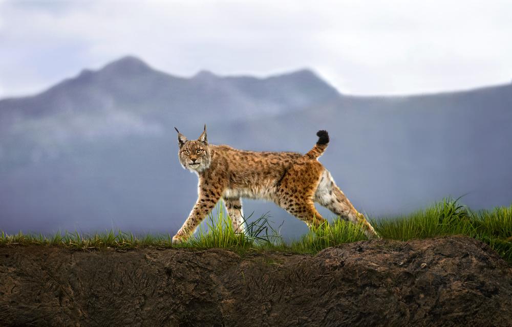 Fotokonst Walking Lynx