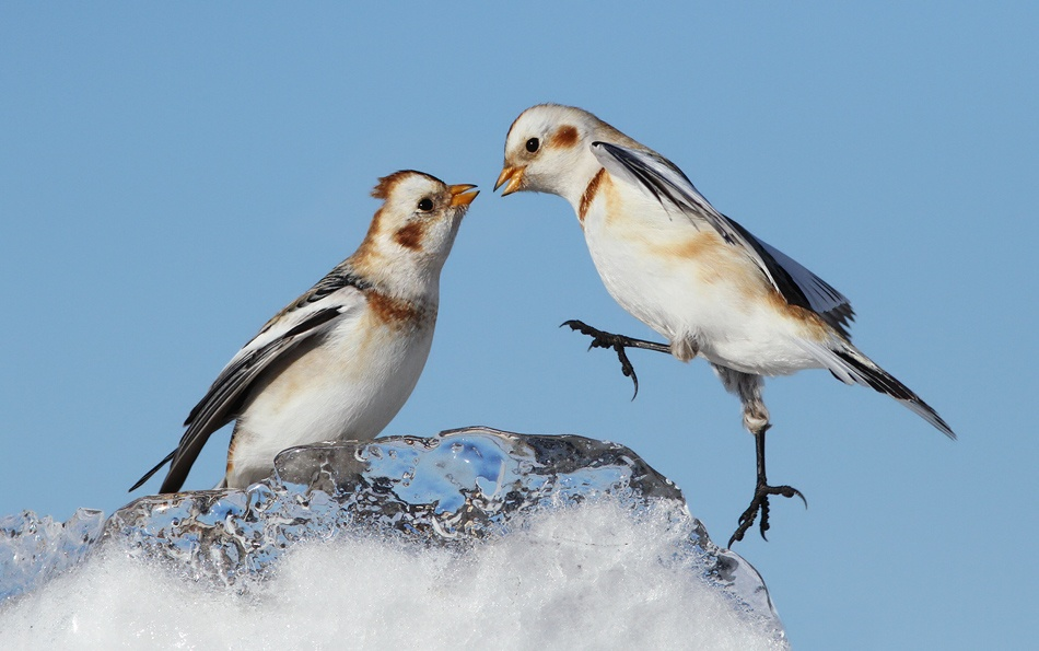 Poster Snow Buntings