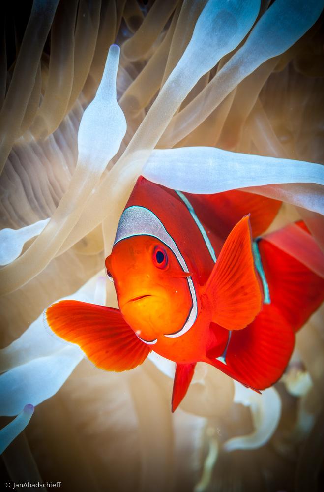 Fotokonst Clownfish defends his white anemone