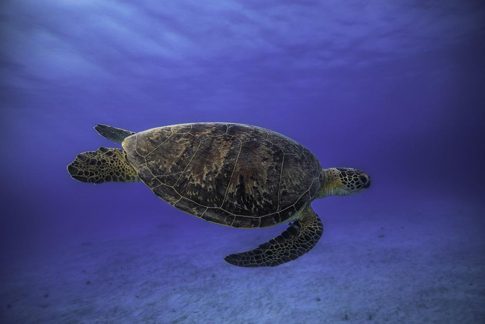 Fotokonst Green turtle in the blue