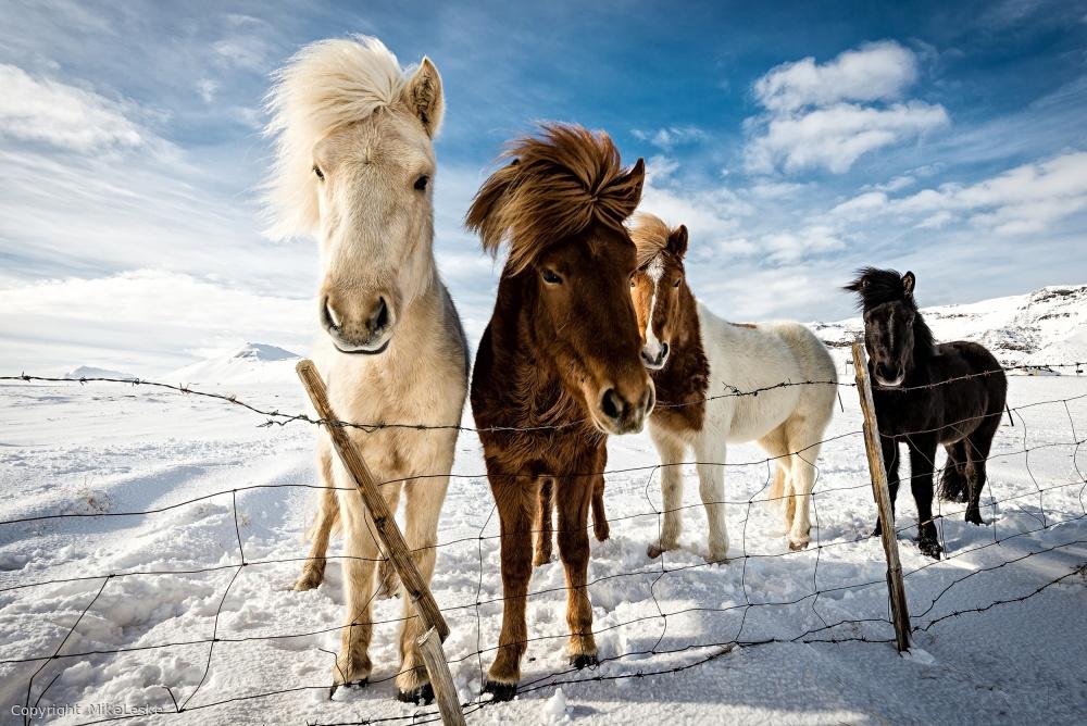 Fotokonst Icelandic Hair Style