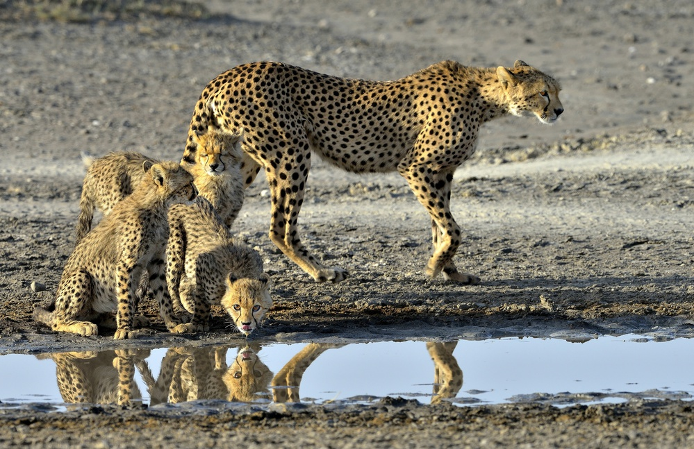Fotokonst Cheetahs