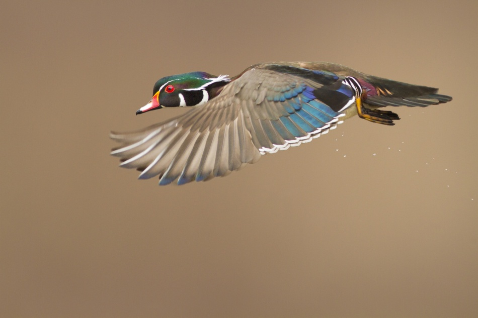 Poster Wood Duck
