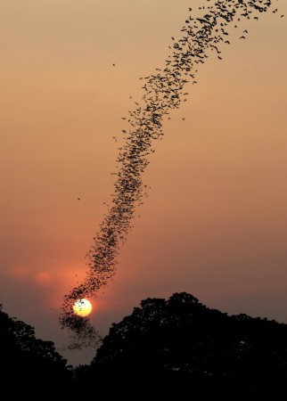 Bats swarm at sunset by Jean De Spiegeleer