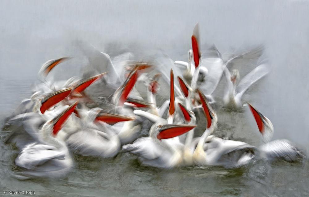 Fotokonst Pelicans in motion blur