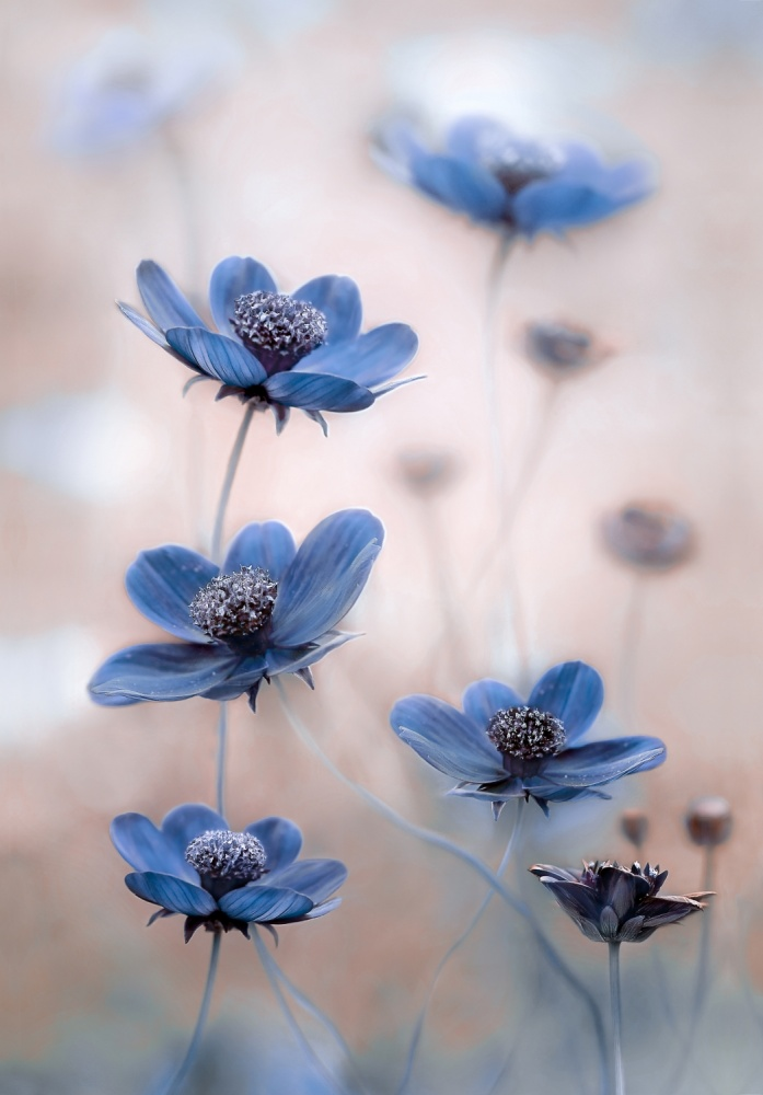 Poster Cosmos blue
