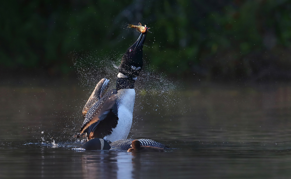 Poster Pisces Rising - Common loon with fish