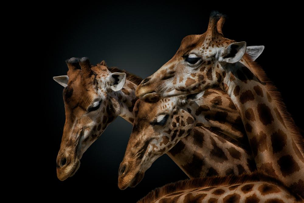 Fotokonst Gregarious giraffes