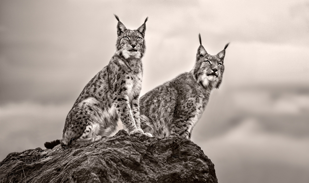 Fotokonst Two Lynx on rock