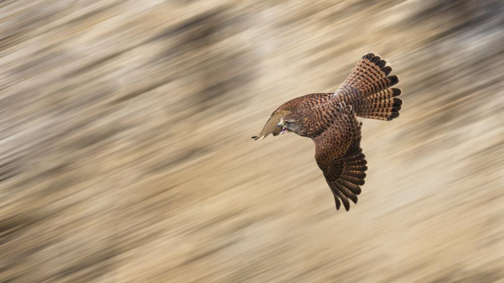 Fotokonst Speeding Falcon