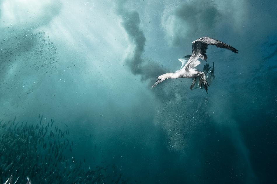 Fotokonst plunge diver