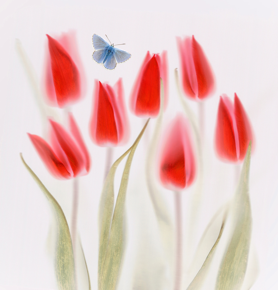 Poster Red Tulips