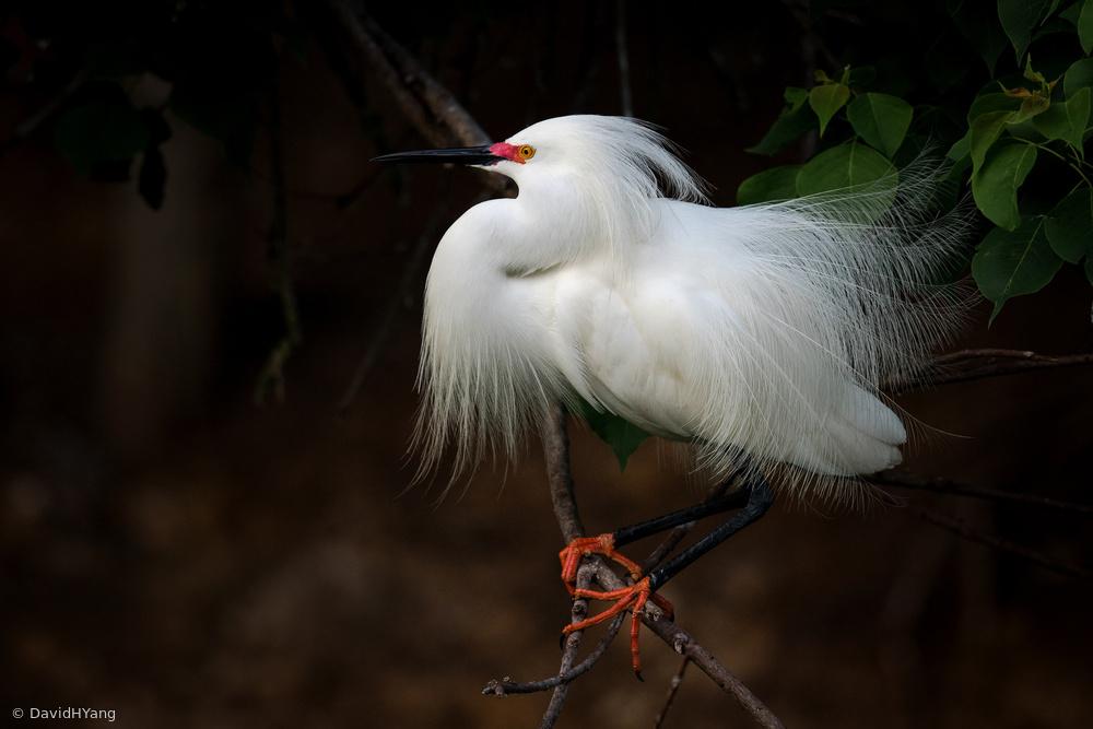 Fotokonst Snowy Egret