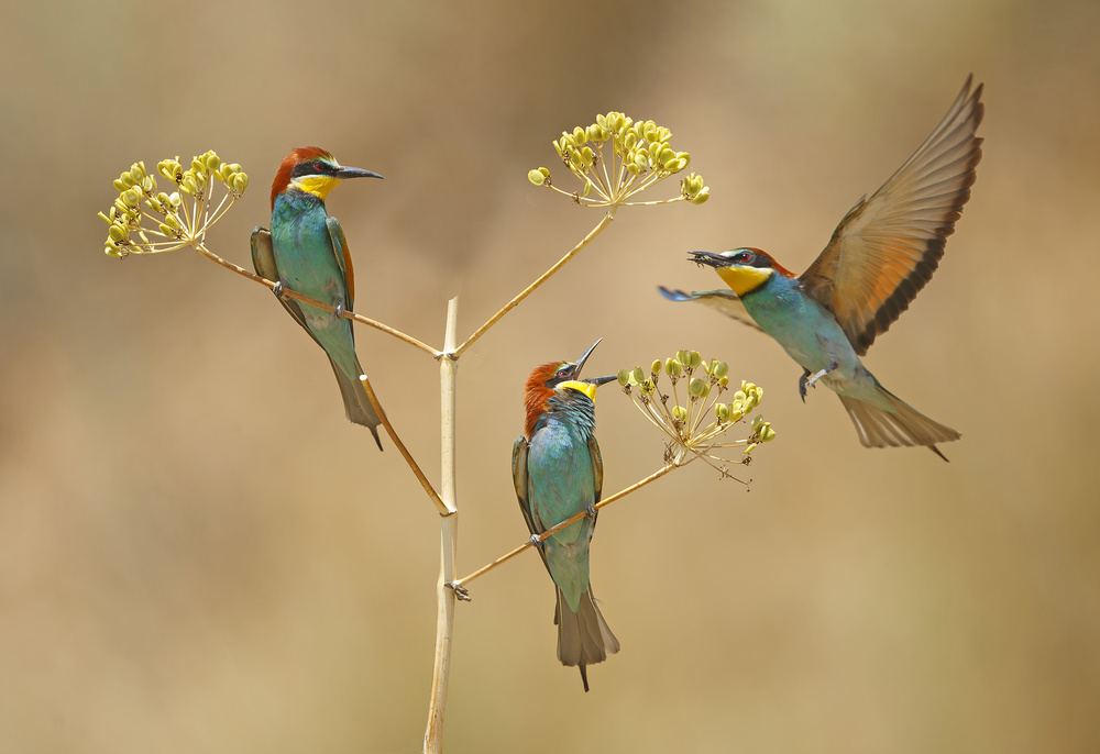 Poster Bee-eaters - who will earn the Bee...