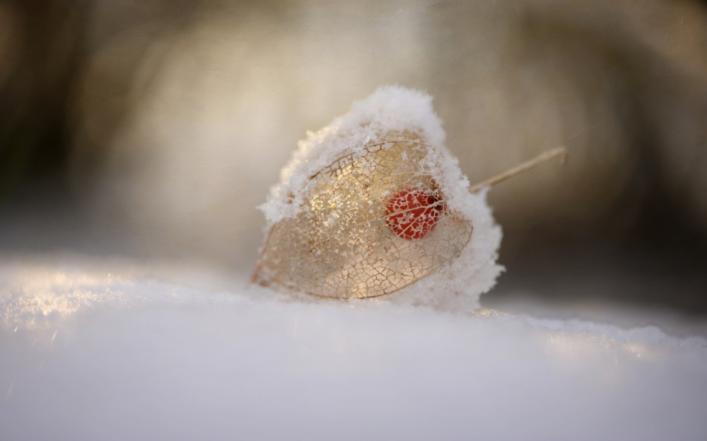 Poster Physalis in Snow