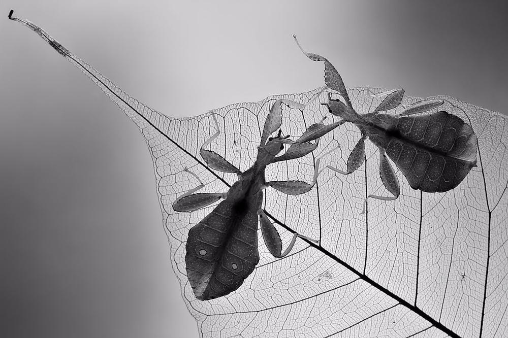 Fotokonst Phyllium