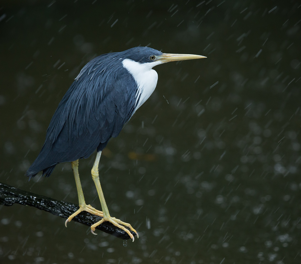 Poster Heron in a Shower